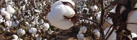 綿花と農薬